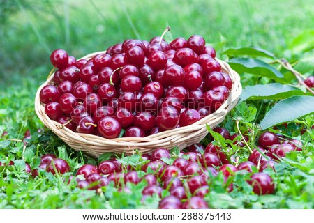 Sour cherries in a wicker basket and grass - stock photo