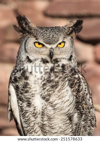 south africa owl standing on a wooden bar and a brick wall - stock photo