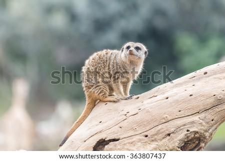 South African Meerkat (Suricate) - stock photo