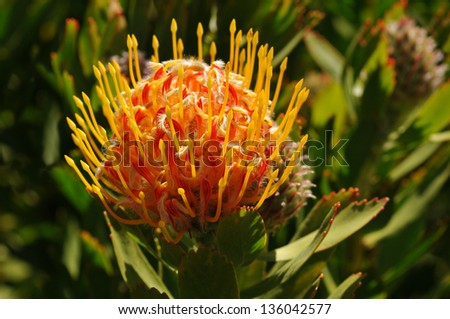 South African Pincushion Protea Flower - stock photo