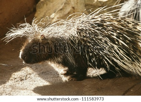 South African Porcupine - stock photo
