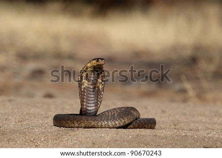 South African Snouted Cobra with handlers tool in frame - stock photo