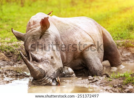 South African wild rhino bathing in the mud, big dangerous horned animal, big five member, safari game drive, exotic tourism expedition - stock photo