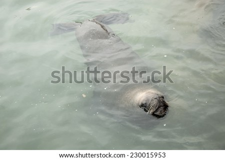 South American Sea Lion - Otaria Flavescens - Chile / South American Sea Lion - stock photo