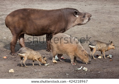 South American tapir (Tapirus terrestris), also known as the Brazilian tapir, with Capybara (Hydrochoerus hydrochaeris) and Patagonian mara (Dolichotis patagonum). Wild life animal.  - stock photo
