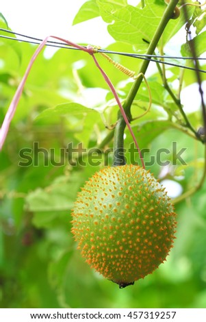 Southeast Asian fruit, commonly know as Gac, Baby jackruit, Spiny bitter gourd, Sweet grourd or cochinchin gourd. Very delicious and medicinal properties - stock photo