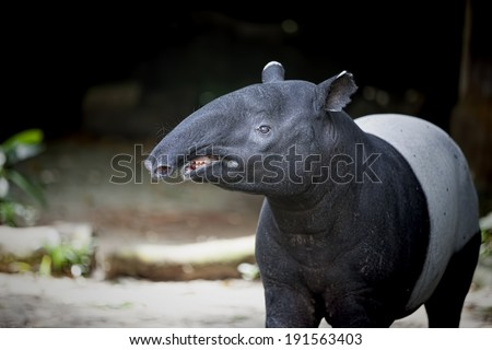 Southeast Asian Tapir in the Malaysian wilderness - stock photo