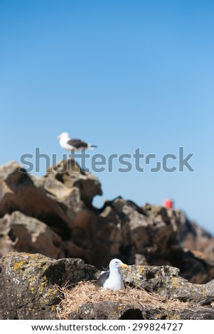 Southern Black Backed Gull, nesting amongst rocks looking after the next generation with mate on guard on high rock. - stock photo