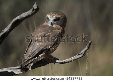 Southern Boobook Owl - stock photo