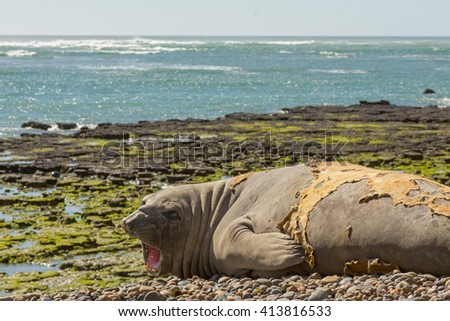 Southern Elephant Seal (Mirounga leonina) screaming. Chubut, Patagonia Argentina, South America. - stock photo
