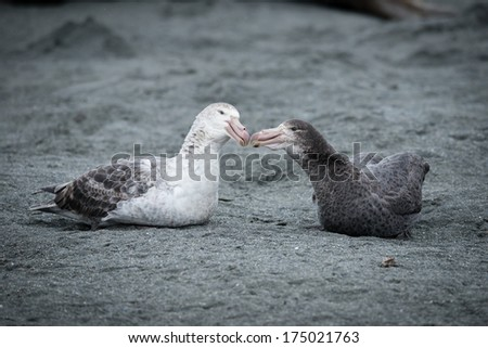 Southern Giant Petrel couple in love, South Georgia, Antarctica - stock photo