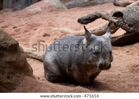 Southern Hairy-nosed Wombat (Lasiorhinus latifrons) - stock photo