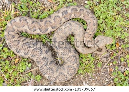 Southern Italian asp (Vipera aspis hugyi) - pattern - stock photo