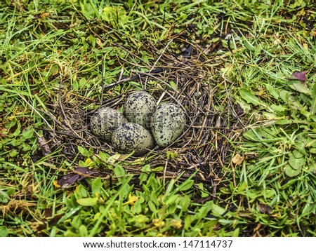 Southern lapwing (Vanellus chilensis) eggs in the Chilean Patagonia on winter - stock photo