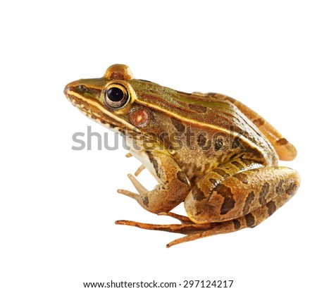 Southern Leopard Frog Isolated on White - stock photo
