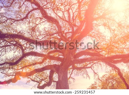 Southern live oak tree with widely spread branches, dreamy vintage toning applied - stock photo