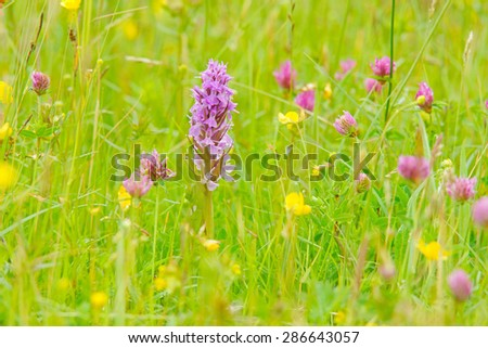Southern Marsh Orchid, Dactylorhiza praetermissa, with diffused background, grows on water meadows, fens and wet dune slacks, mostly on calcareous soils, Clattinger Meadow, Wiltshire, United Kingdom - stock photo