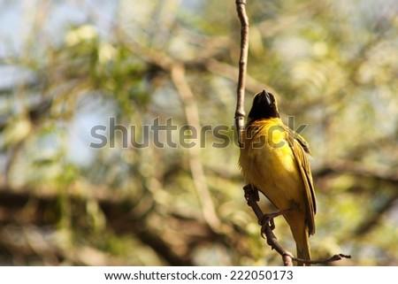 Southern masked weaver (Male). - stock photo