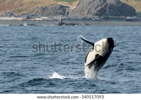 Southern Resident Killer Whale Female Yoda (K36) Breaches near San Juan Island - stock photo
