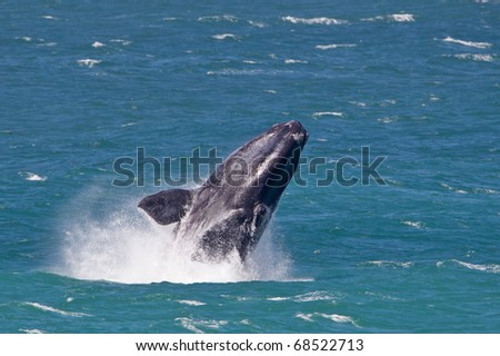 Southern right whale - stock photo