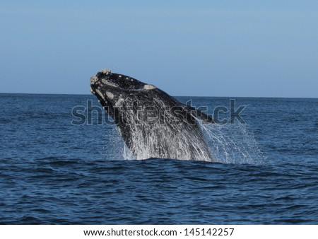 Southern right whale breaching - stock photo