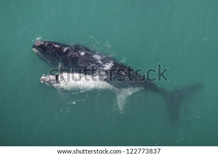 Southern right whale mother and white calf, South Africa - stock photo