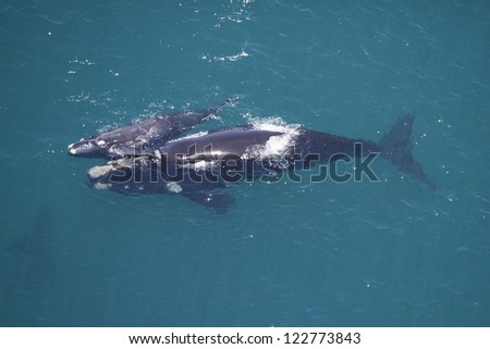 Southern right whale mother calf, South Africa - stock photo