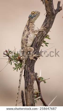 Southern Rock Agama - stock photo