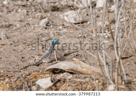 Southern Rock Agama (Agama atra) standing on sand, Etosha National Park, Namibia - stock photo