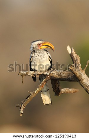 Southern Yellow billed hornbill - stock photo