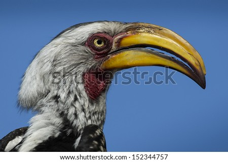 Southern yellow-billed hornbill, Kruger, South Africa - stock photo