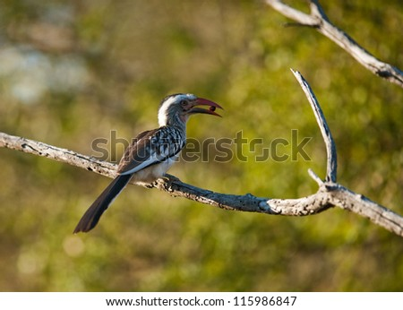 Southern yellowbilled hornbill (Tocus leucomelas) on a branch - stock photo