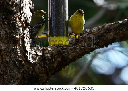 Southwest USA Beautiful Male and Female Yellow Lesser Goldfinch Males are bright yellow below with a glossy black cap and white patches in the wings Females are Pale Olive Yellow. - stock photo