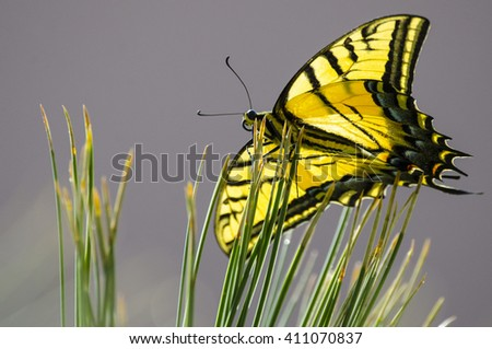 Southwest USA Beautiful Swallowtails Papilionidae butterfly Yellow and Black on pine needles  - stock photo