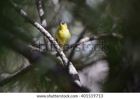 Southwest USA Beautiful Yellow and Black Male Lesser Goldfinch are bright yellow below with a glossy black cap and white patches in the wings, their backs can be glossy black or dull green - stock photo