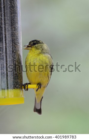 Southwest USA Beautiful Yellow and Black Male Lesser Goldfinch are bright yellow below with a glossy black cap and white patches in the wings, their backs can be glossy black or dull green.  - stock photo