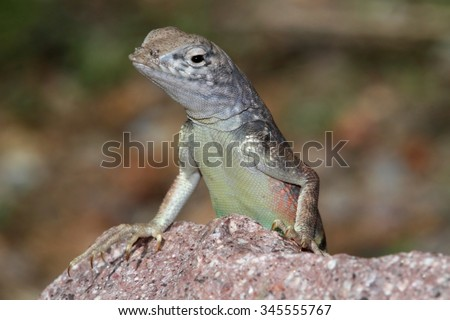 Southwestern Earless Lizard (Cophosaurus texanus scitulus) in New Mexico - stock photo