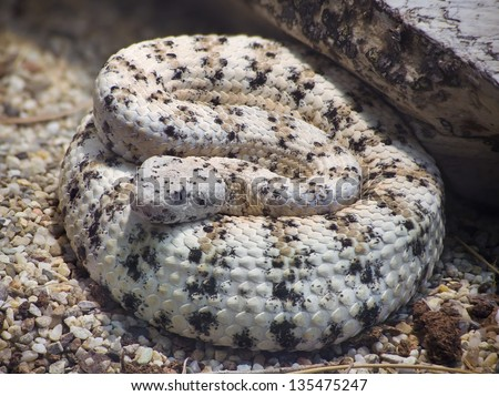 Southwestern Speckled Rattlesnake, Crotalus Mitchelli Pyrrus - stock photo