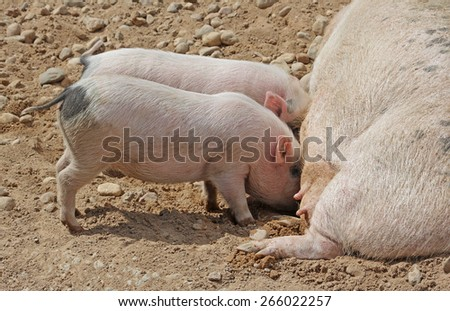 Sow lying on its side, milk feeds two little pigs. Close-up. - stock photo