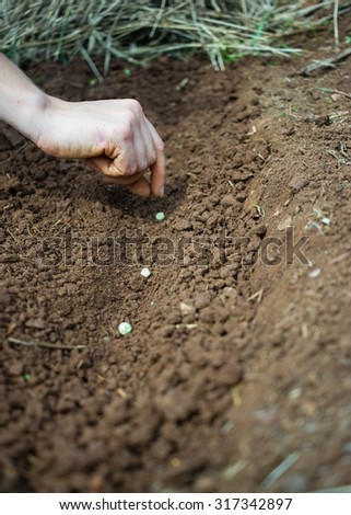 Sowing, Planting -Woman Hand Planting Pea Seeds - stock photo