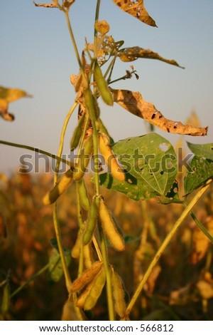 Soy Bean at Sunset - Three - stock photo