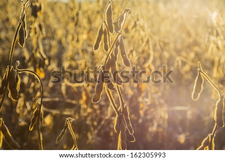 Soy bean field in early morning just before harvest with lens flare - stock photo