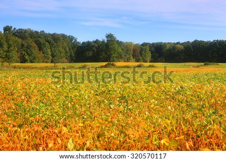 Soy bean fields in autumn time - stock photo