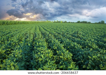 Soy field with rows of soy bean plants in sunset - stock photo
