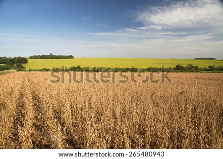 Soy fields in autumn  - stock photo