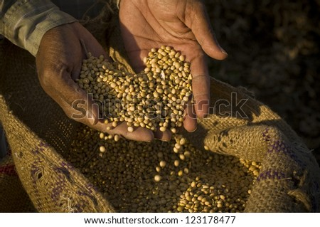 soya beans in hand - stock photo