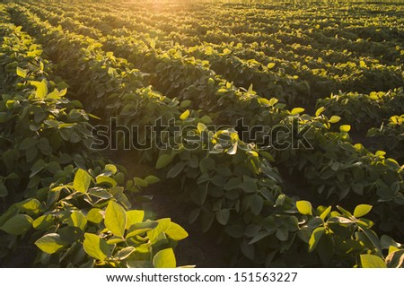Soybean and sunset - stock photo