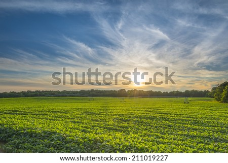 Soybean Field at Sunset - stock photo