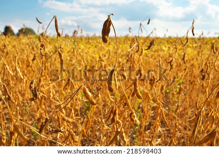 Soybean field ready for being harvested - stock photo