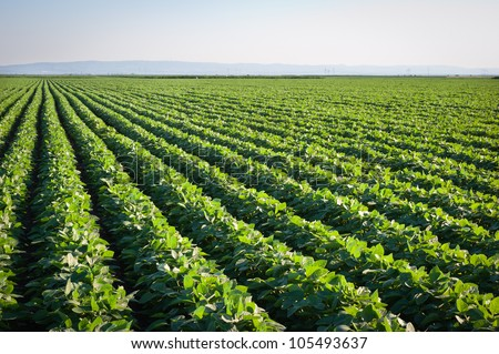 soybean field with rows of soya bean plants - stock photo